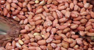تولید بادام زمینی تازه