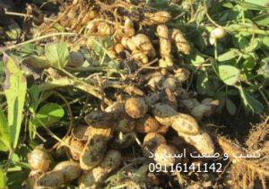 خرید بذر بادام زمینی درجه یک