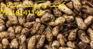فروش بذر بادام زمینی گلی