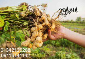 خرید بذر بادام زمینی گلی