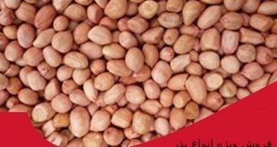خرید بذر بادام زمینی آستانه